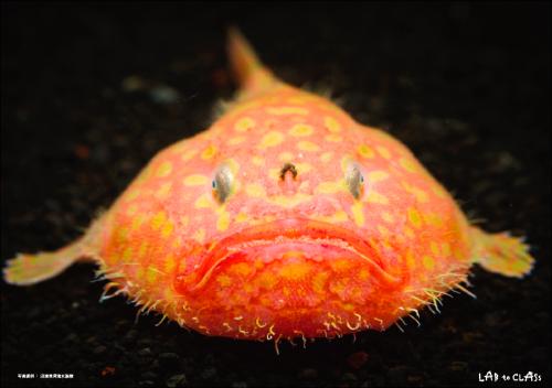 ミドリフサアンコウ 写真提供:沼津港深海水族館