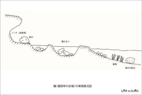 磯(潮間帯の岩場)の環境模式図例